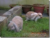 lop rabbits